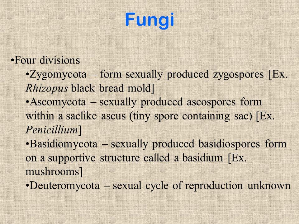 Fungi Four divisions. Zygomycota – form sexually produced zygospores [Ex. Rhizopus black bread mold]